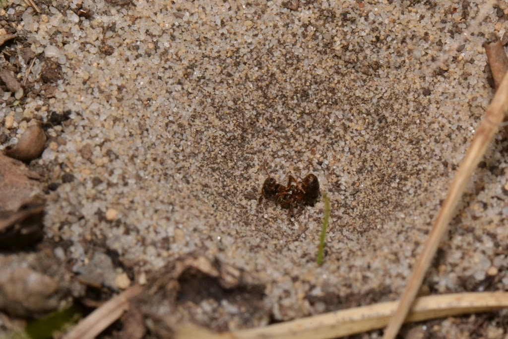 ant fell into antlion pit trap