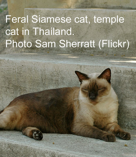 Seal point Siamese cat in Thailand (Siam)