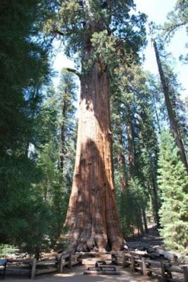 10 Pohon Tertinggi dan Terbesar di Dunia