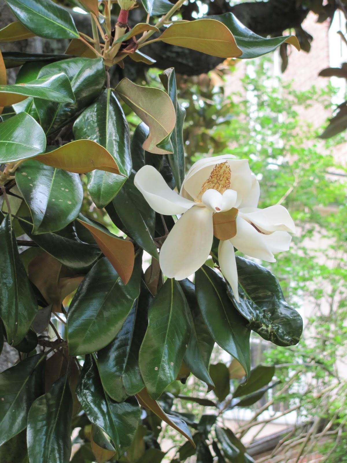Magnolias bloom in Charleston, SC