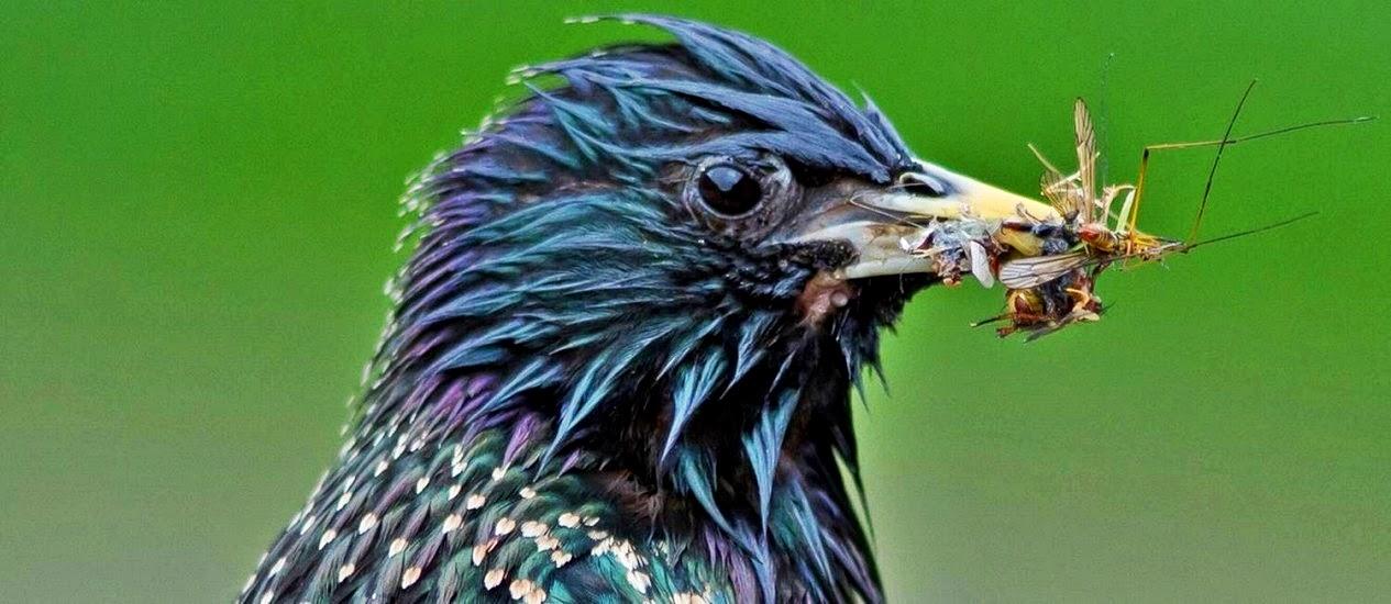 Este estorninho é uma das 15 espécies de aves cujo declínio na população tem sido associado ao uso de agrotóxicos na Holanda.