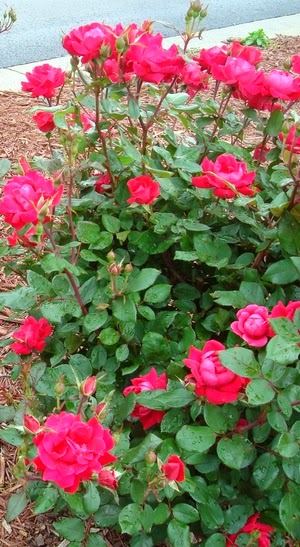 Tips for Treating Black Spot on Roses