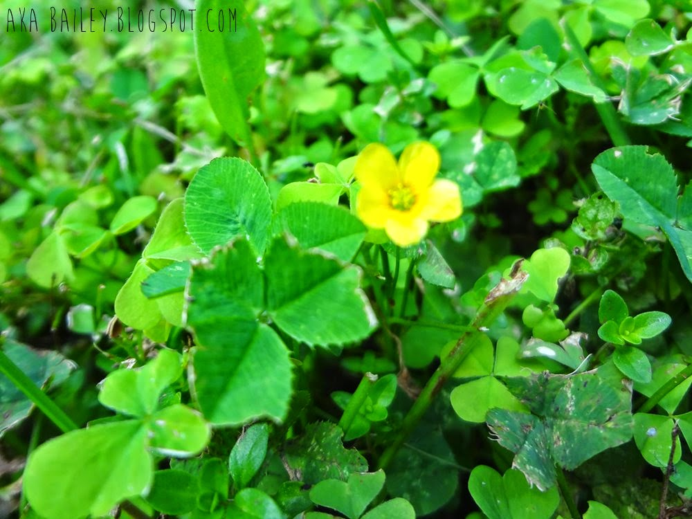 Yellow buttercup in a field of clovers