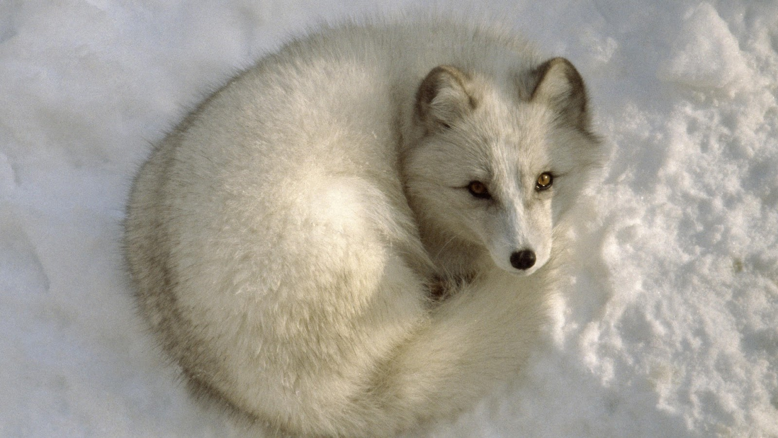 Previews wallpaper arctic fox in canada