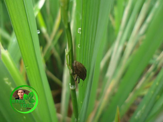 FOTO : Lembing batu (pengisap batang padi) pada tanaman padi admin