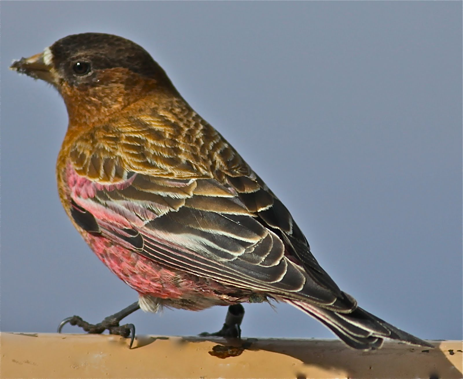birding is fun rosy finches at sandia crest new mexico
