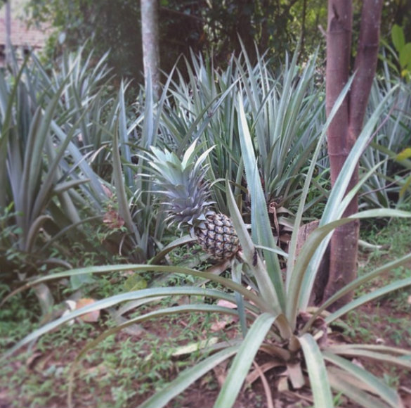17 apart plant grow a pineapple top take two for How do i plant a pineapple top