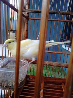 gambar burung,macam gambar burung kicau,Berbagai Macam Gambar Burung Kicau