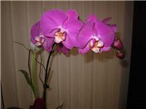 Orquidea de Chomp.