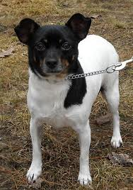 Rat-cha Dog Breed