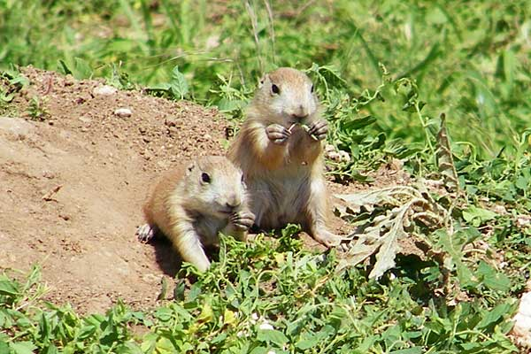 The news for squirrels squirrel facts the black tailed prairie dog a burrow will usually be used by several generations of prairie dogs and when abandoned may be taken over by other animals m4hsunfo