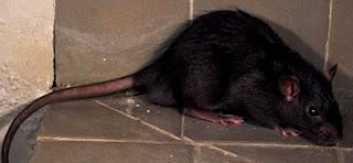 Foto de rata negra
