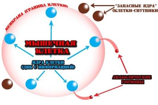 гиперплазия мышечной клетки