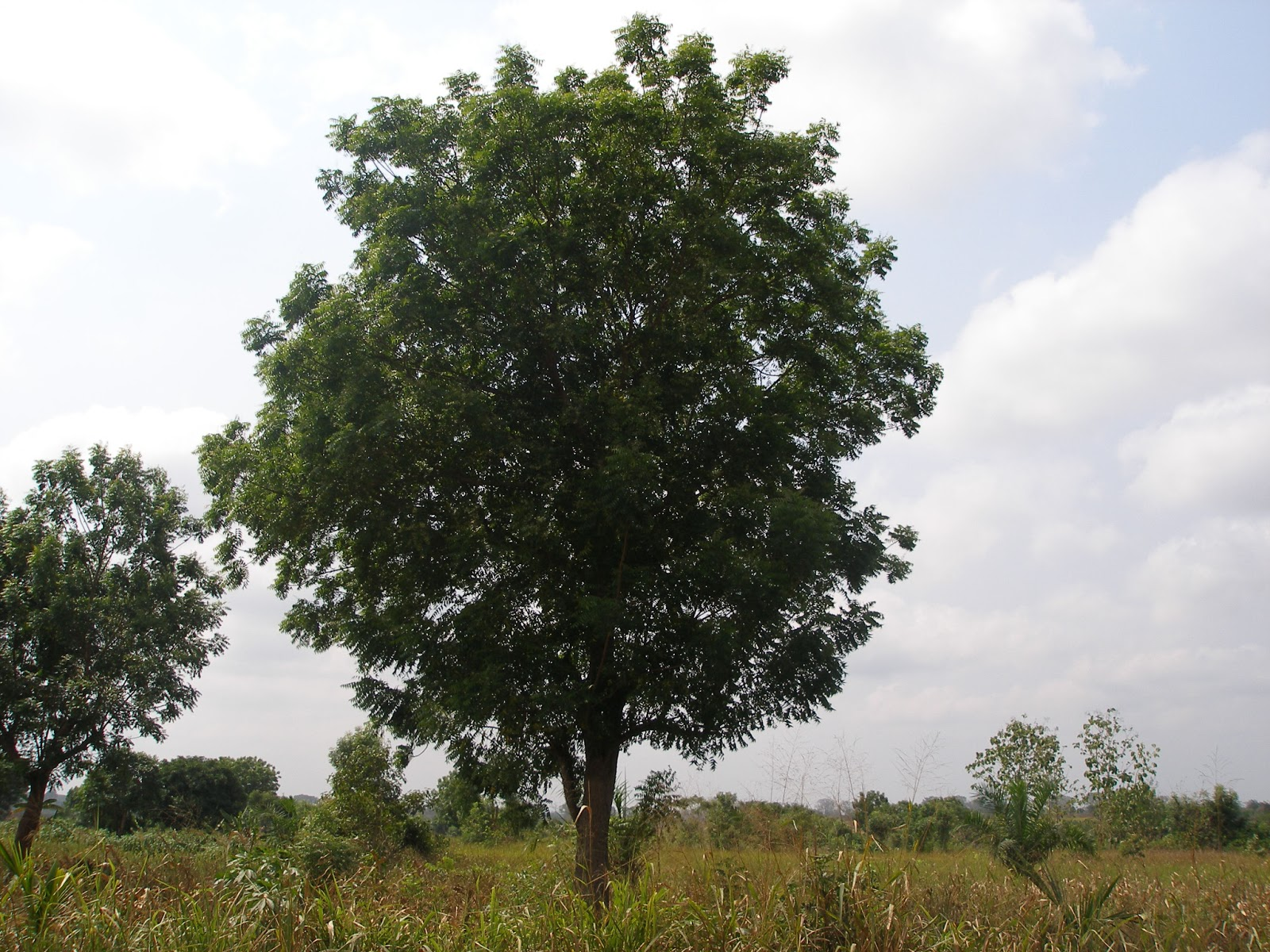 neem tree leaves as insect repellant This study, investigated the mosquito repellent effect of the plant azadirachta  indica extracts of the seed kernel and fruit  has evergreen pinnate leaves and  small fragrant yellow-white  azadirachta indica also known as neem, is a  member.