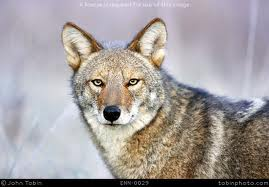 coyote research paper