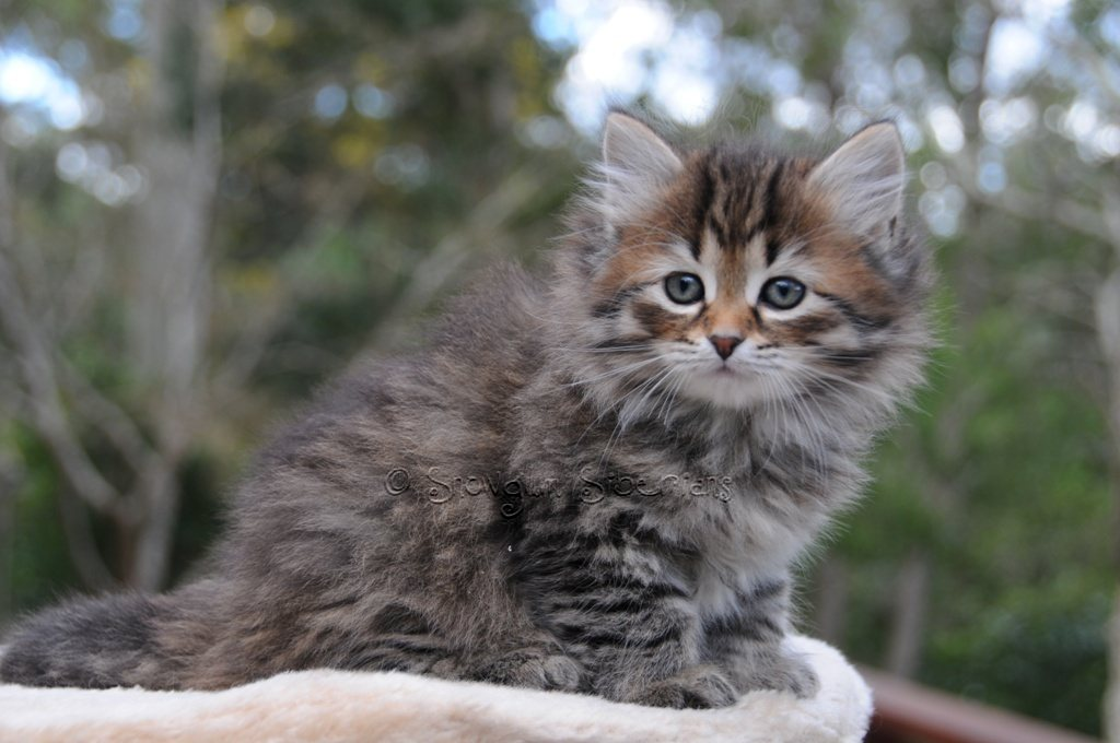 A beautiful kitten with a sweet cougar d amp j