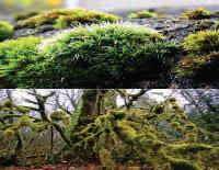 Pengertian , klasifikasi , serta ciri-ciri Tumbuhan Lumut (Bryophyta)