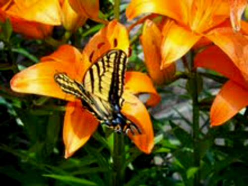 swallowtail_on_tiger_lily