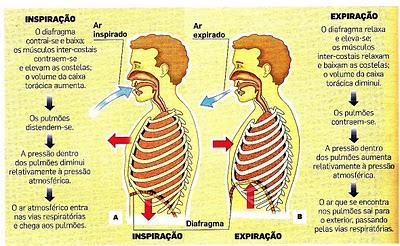 Qual o principal músculo respiratório? Inspira%C3%A7%C3%A3o_expira%C3%A7%C3%A3o