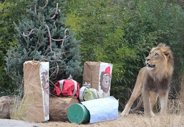 Funny animals of the week - 3 January 2014 (40 pics), lion at zoo gets presents