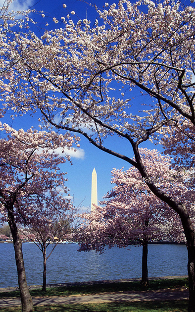 Cherry blossoms images