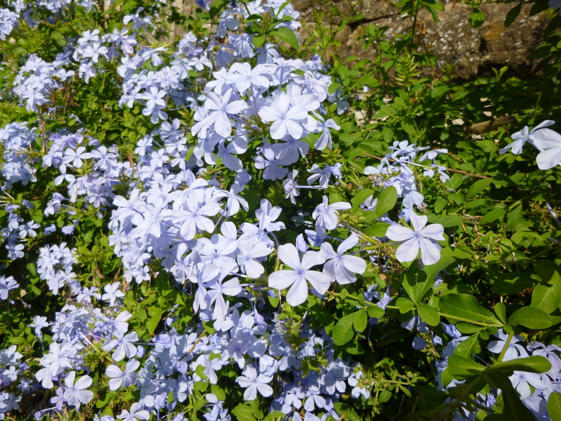 Garden of aaron 2012 pretty blue flowers they looked a little like phlox but i think this was growing on a bushy vine that covered a wall can phlox do that izmirmasajfo Choice Image