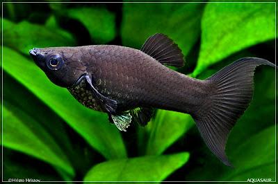 Black black Mollies Fish