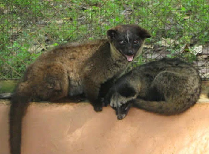 small palm civet picture