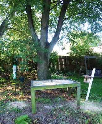 Maple Tree in Backyard