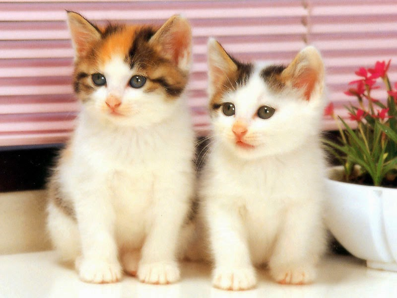 Cute cat wallpapers free download free download cute cat wallpapers free download voltagebd Images