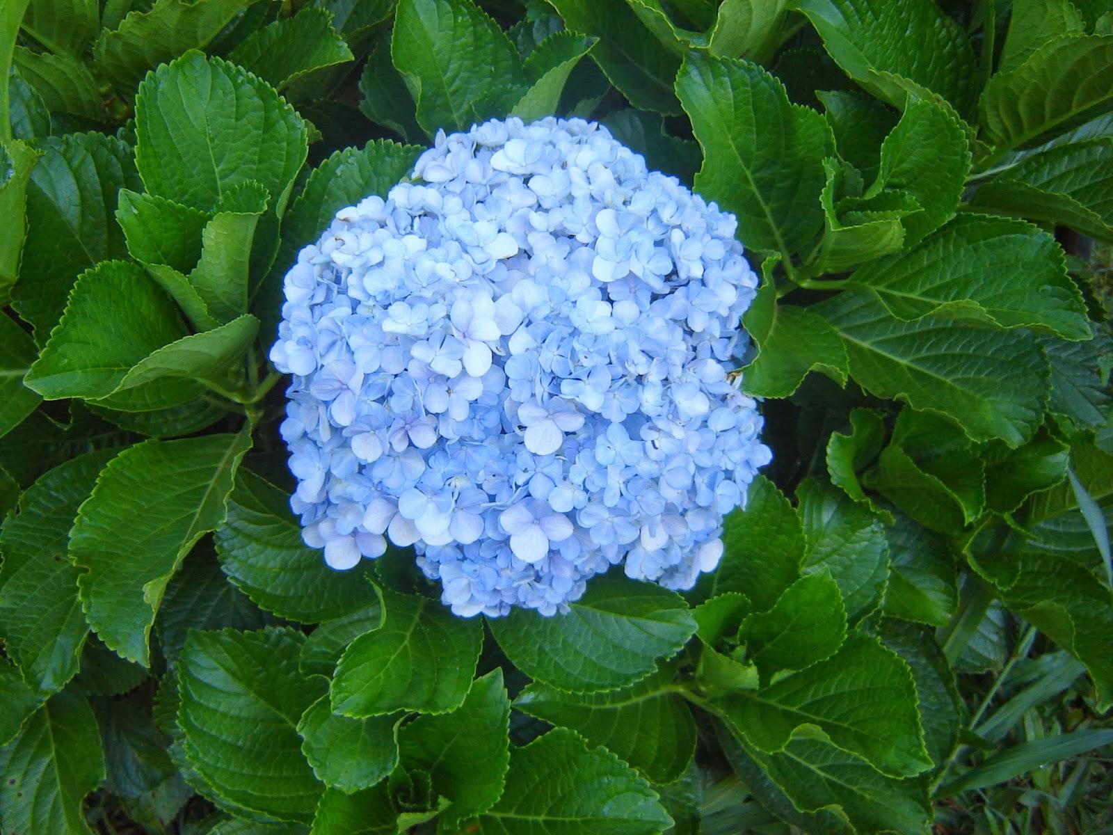 Quintais imortais hortensia - Como podar la hortensia ...