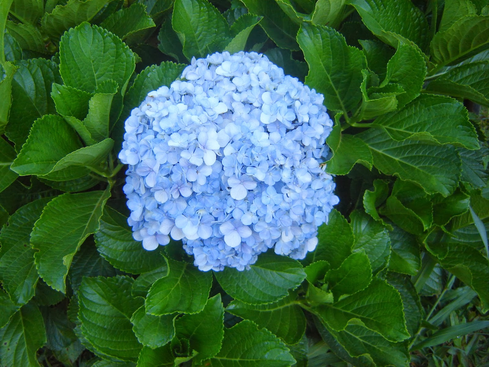 V e r d e c h a c o hortensia - Cuidados de las hortensias ...