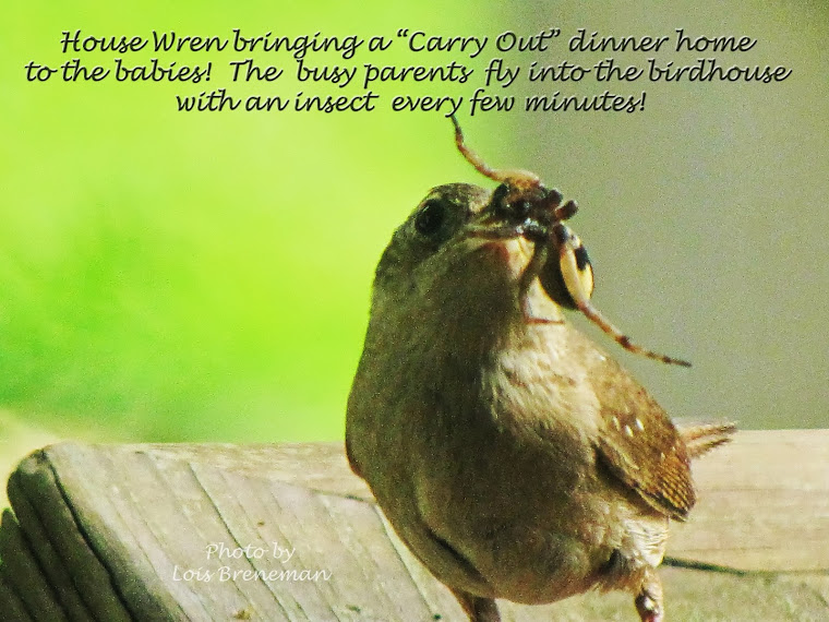 "House Wren - ""Carry Out"" Meal"