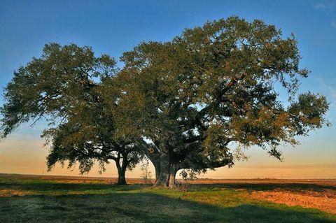 Oak Tree Convent