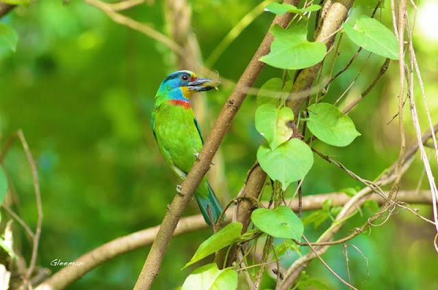 雞南山的五色鳥