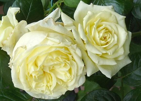 Elfe rose сорт розы фото