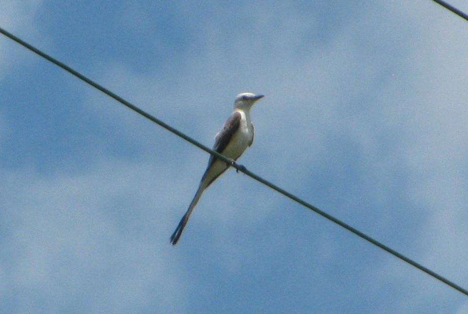 Scissor tailed flycatcher clipart - photo#21