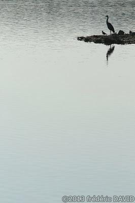 oiseau vanneau héron silhouette étang nature Sorques Fontainebleau Seine et Marne