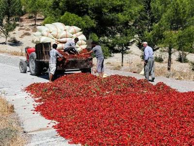 Cara Membuat Dan Menjemur Lada Kering Di Turki