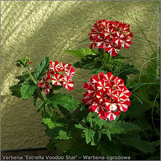 Verbena 'Estrella Voodoo Star' flowers - Werbena ogrodowa 'Estrella Voodoo Star' kwiaty