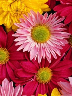 Flowers 240x320 Mobile Wallpapers 3