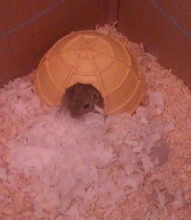 Christopher, el jerbo, instala su nido en la cabaña de Pocahontas