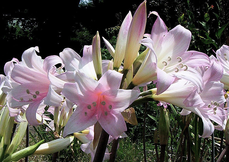 Se fosse un fiore aprile 2011 for Garder un amaryllis