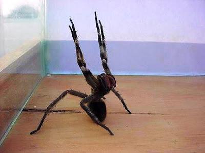 fotos Phoneutria Fera y Phoneutria Nigriventer argentina arañas venenosas