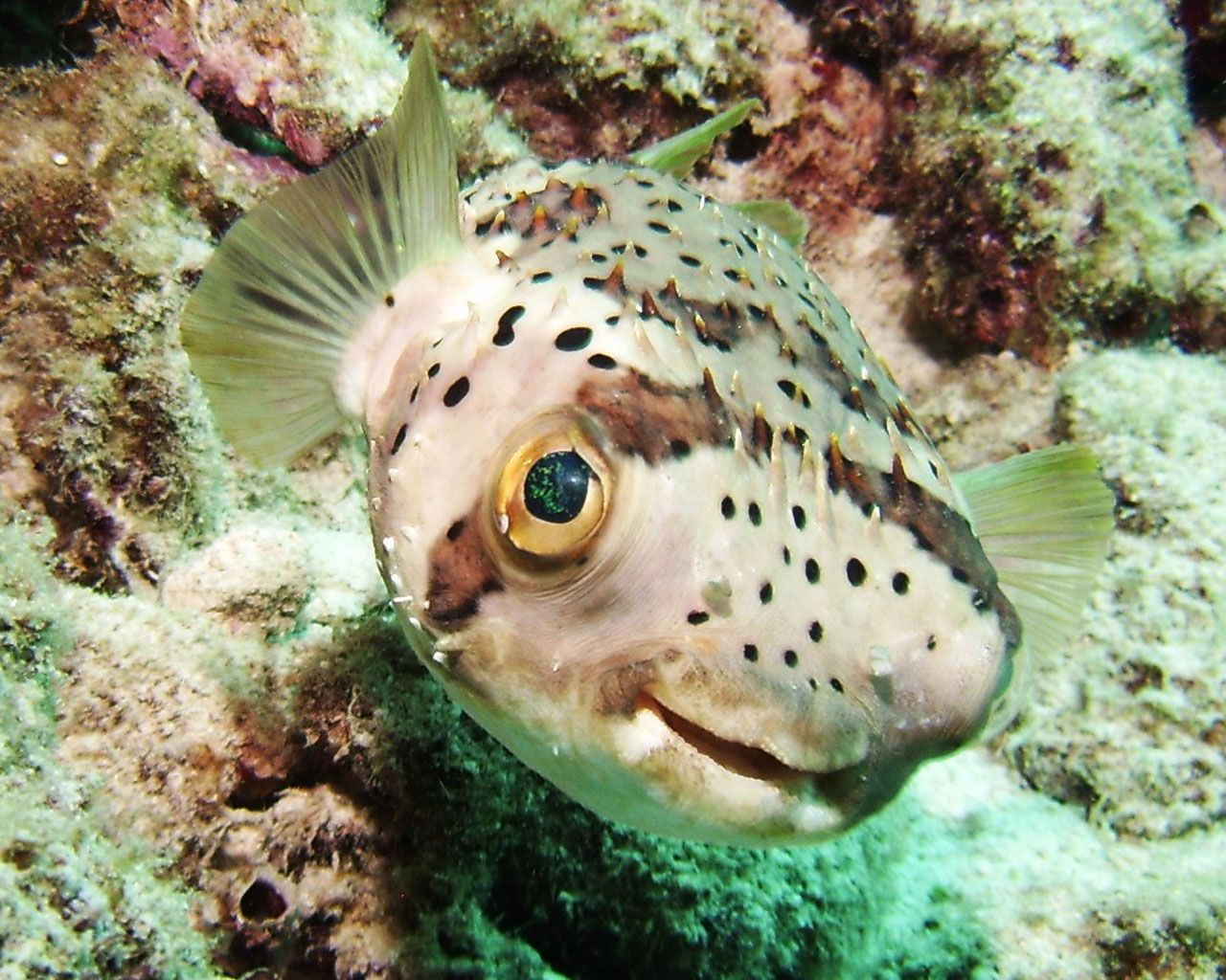 puffer fish true wildlife creatures