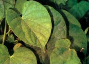 Cara Mengatasi Hepatitis Pakai Ramuan Obat Tradisional