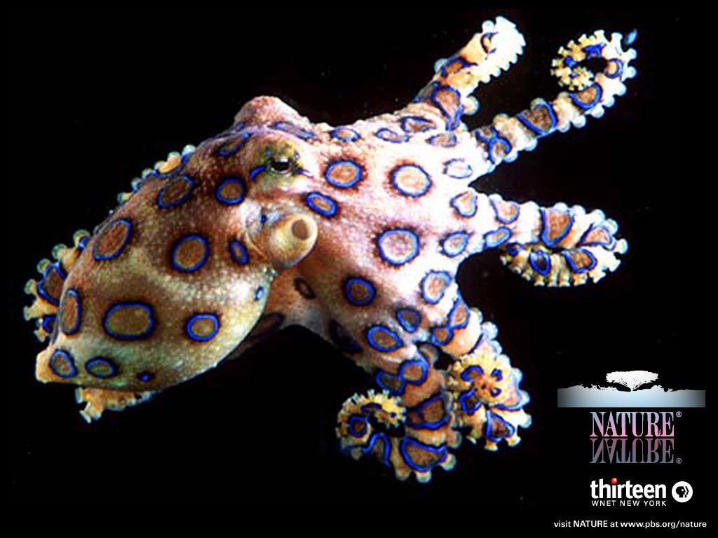 http://4.bp.blogspot.com/-pPTArsoeXUE/TXz287XSVnI/AAAAAAAAAd4/rPZD6vDF-pw/s1600/Blue_Ringed_Octopus_Wallpaper_ebr01.jpg