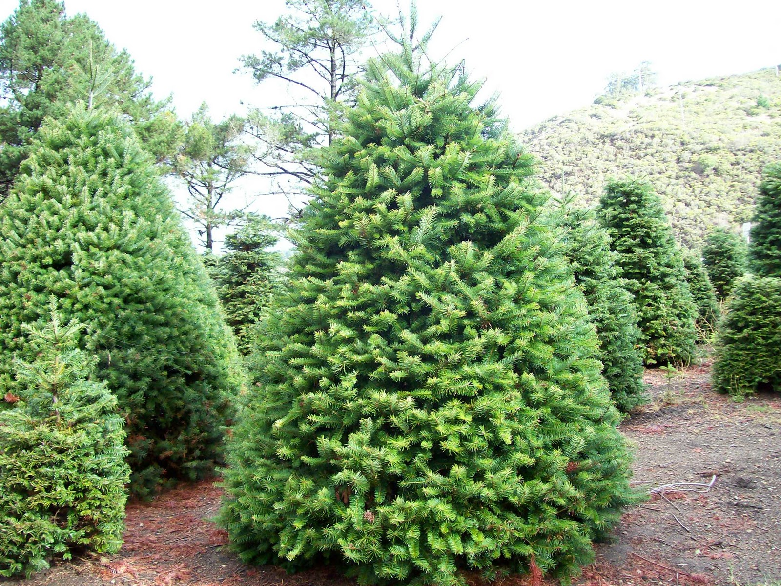 Names of evergreen trees christmas trees