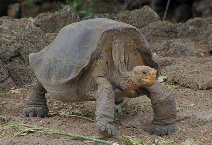Galapagos Tortoises Habitat Galapagos Tortoise is The
