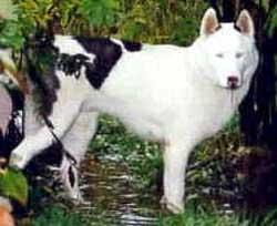 Foto Anjing Siberian Husky Piebald